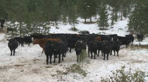 Cattle to be used to mitigate wildfire risks in the Okanagan (01:37)
