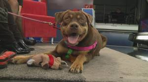 Adopt a pet: Remy the 3-year-old Rottweiler