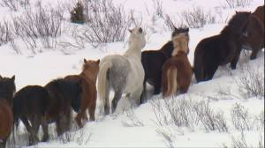 Cochrane horse sanctuary at capacity; founder concerned about fate of Alberta wild horses in 2020