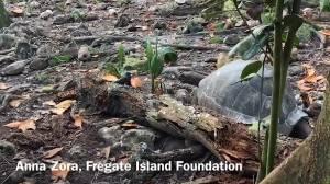 'Vegetarian' giant tortoise attacks and eats seabird (00:35)