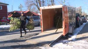 Kingston teen picking-up real Christmas trees for charity (02:07)