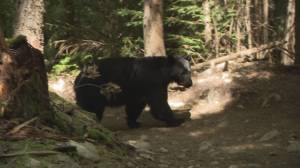 Whistler locals notice more close encounters with bears (01:44)