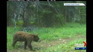 1 of 3 orphaned black bear cubs found in Banff bathroom spotted on trail camera (00:34)