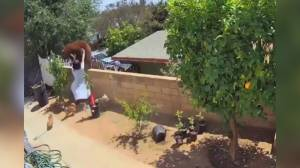 California teen shoves bear off wall to save dogs in viral video (00:44)