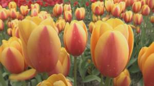 Beloved Abbotsford tulip festival to 'rebloom' in the Okanagan (00:25)