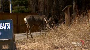 Town of Okotoks takes action after deer 'raise a lot of hell' (01:43)