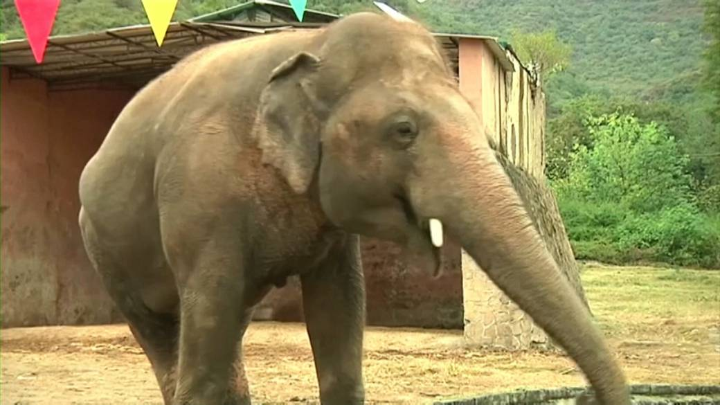 Click to play video ''World's loneliest elephant' begins new life in Cambodia'