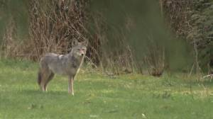 Vigil planned for Stanley Park coyotes (03:42)