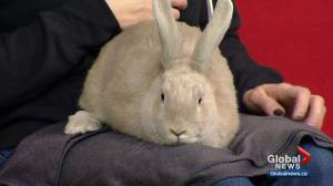 Calgary Humane Society Pet of the Week: Apia the bunny