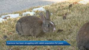 Canmore renews efforts to control rabbit population (03:36)