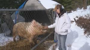 Thinking of owning a pet pig? Beware of bad breeders, warn Okanagan owners (01:56)