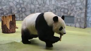 Coronavirus outbreak: Moscow zoo challenges self-isolated Russians to be like panda Ru Yi