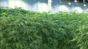 Aurora Cannabis downsizing part of 'right-sizing' industry: analyst