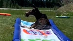 Moose takes over Alberta family's backyard waterslide (01:20)