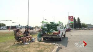 Corn crops in southern Alberta thrive in hot weather (01:50)