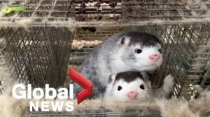 Denmark to cull up to 17M minks due to coronavirus mutation (01:44)