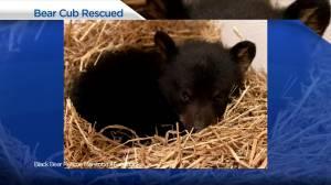Black bear cubs rescued near Lac du Bonnet (00:55)