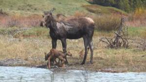 Battle over moose cull in B.C. interior