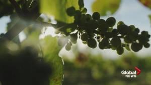 Explore BC: Richmond's Lulu Island Winery