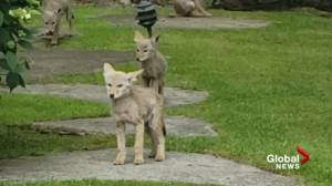 Pack of coyote pups play in Surrey backyard