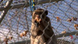 Visiting an Ontario Primate Sanctuary (03:39)