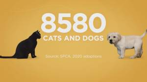 Kitten adoptions in B.C. soar during the 2020 COVID pandemic (00:55)
