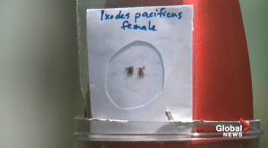 Albertans reporting fewer ticks amid social distancing; risk still there
