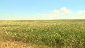 High heat and little rain has Alberta farmers worried (01:35)