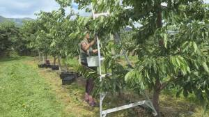 Farmers urge quick action on government-sanctioned campgrounds for fruit pickers amid COVID-19