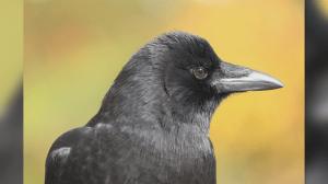 B.C. woman's photos of crows gain huge social media following (03:36)