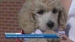 How puppies become dog guides