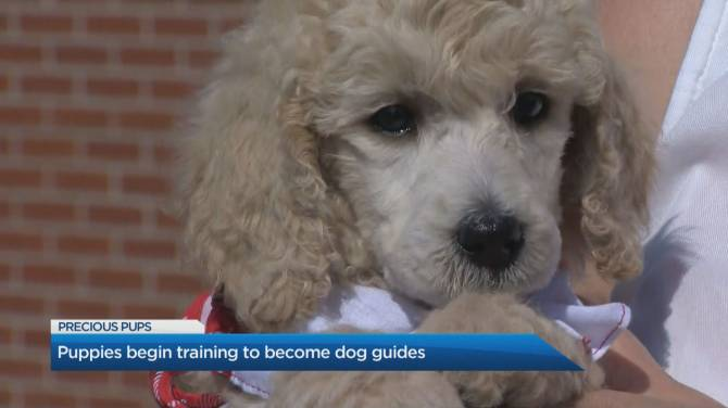 Click to play video: How puppies become dog guides