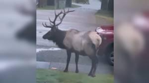 Huge bull elk eats Halloween pumpkins from B.C. yard (00:41)
