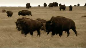 New hands on program aims to teach students about bison