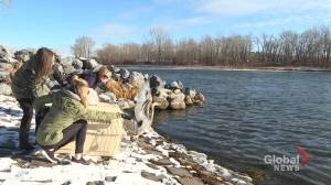 Video shows blue heron being released back into wild after being rescued near Calgary