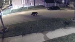 Black bear spotted roaming Markham streets