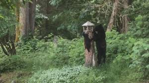 Bear and two tiny cubs raid Vancouver Island bird feeder