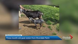 Toronto police investigate baby goat stolen from Riverdale Farm (01:39)