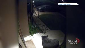 Doorbell camera captures curious black bear in Calgary