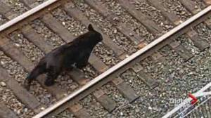 Black bear found wandering on train tracks near downtown Vancouver (00:57)