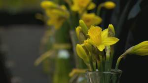 Canadian Cancer Society's daffodil fundraiser goes virtual (02:02)