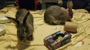 Edmonton Humane Society: Silver & Gainsboro the bunnies (04:13)