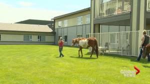 Lethbridge Therapeutic Riding Association uplifts seniors with therapy animals amid COVID-19