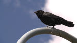 Look out below! Crows are dive-bombing pedestrians