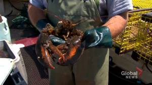 Lobster wholesaler in Digby County says company would purchase lobster from Indigenous fishers (01:42)