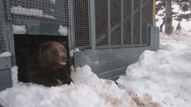 Click to play video: Grouse Mountain bears out of winter hibernation