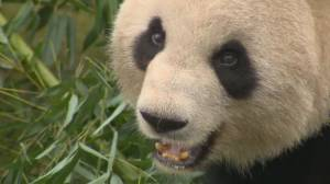 Calgary's pandas head back to China after bamboo issues (02:34)