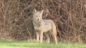 Three more coyote attacks in Stanley Park (03:42)