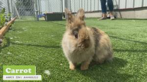 AARCS looking for forever homes for two bunnies