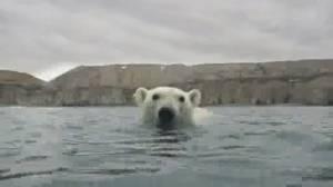 Climate report shows bleak future for polar bears